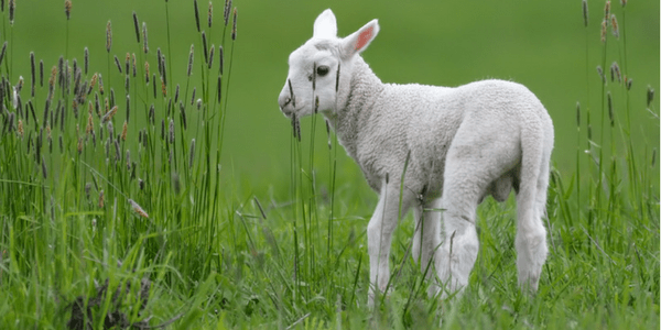 Lamb by Mike Streicher (flickr mikestreicher)