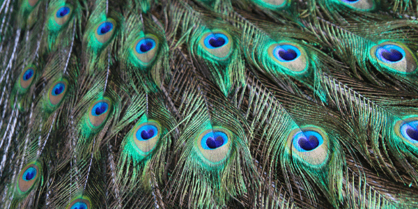 Peacock feathers, photo by Kathryn