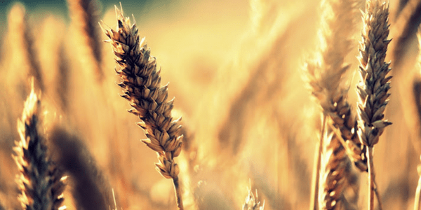 Wheat by Veera Määttänen (flickr veera.maattanen)