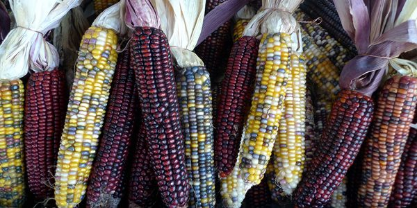 Flint corn, photo by Lori L. Stalteri