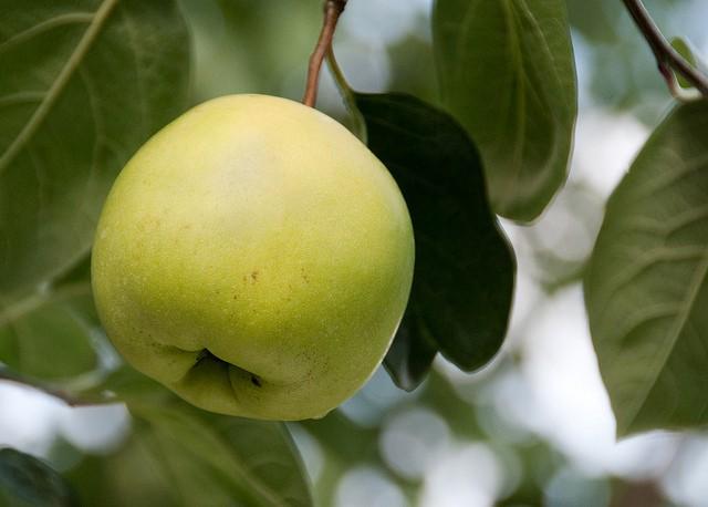 Golden Apple Of Eris