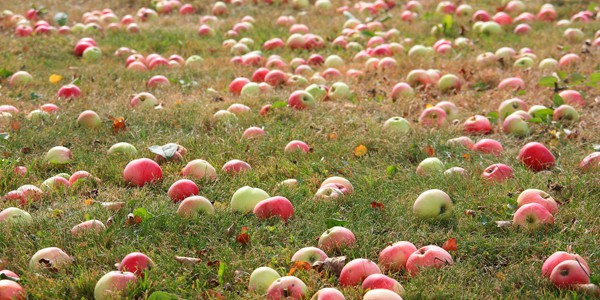 Harvest apples, photo by Liga Eglite