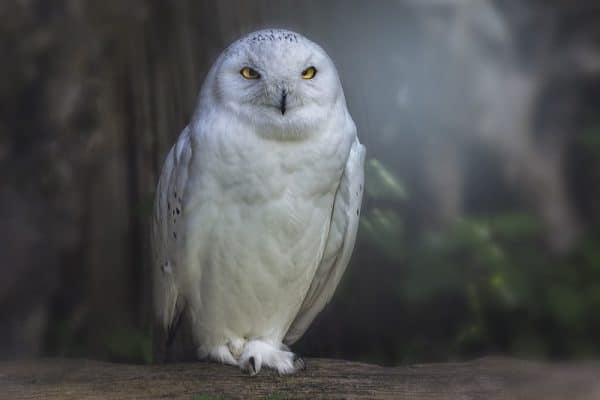 White owl, photo by PIxabay