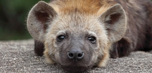 Spotted hyena pup, photo by Nigel Voaden